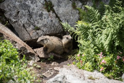 Two groundhogs sitting in front of their rock hole entry at Mount Hochschwab