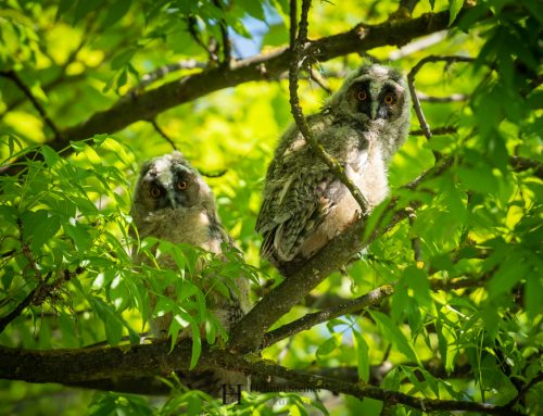 Long-Eared Owl Branchlings